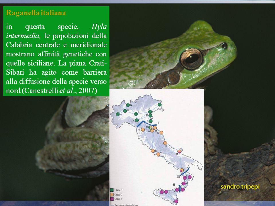 Raganella italiana in questa specie, Hyla intermedia, le popolazioni della Calabria centrale e meridionale mostrano affinità genetiche con quelle siciliane.