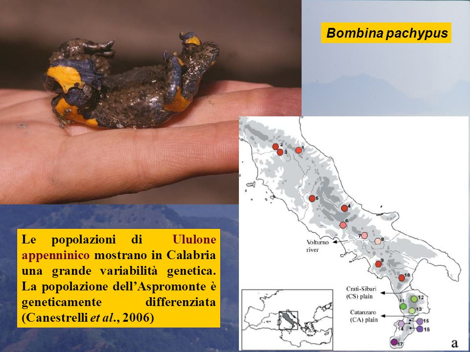 Le popolazioni di Ululone appenninico mostrano in Calabria una grande variabilità genetica.