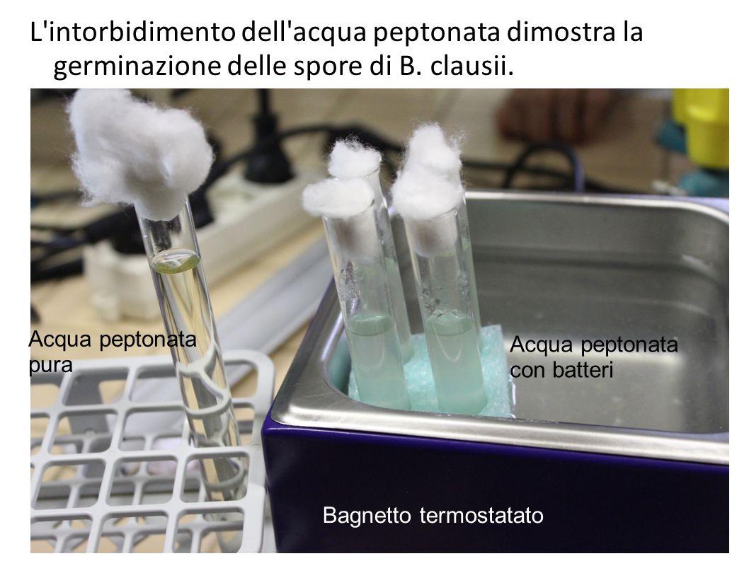 L'intorbidimento dell'acqua peptonata dimostra la germinazione delle spore di B. clausii. Acqua peptonata pura Acqua peptonata con batteri Bagnetto te