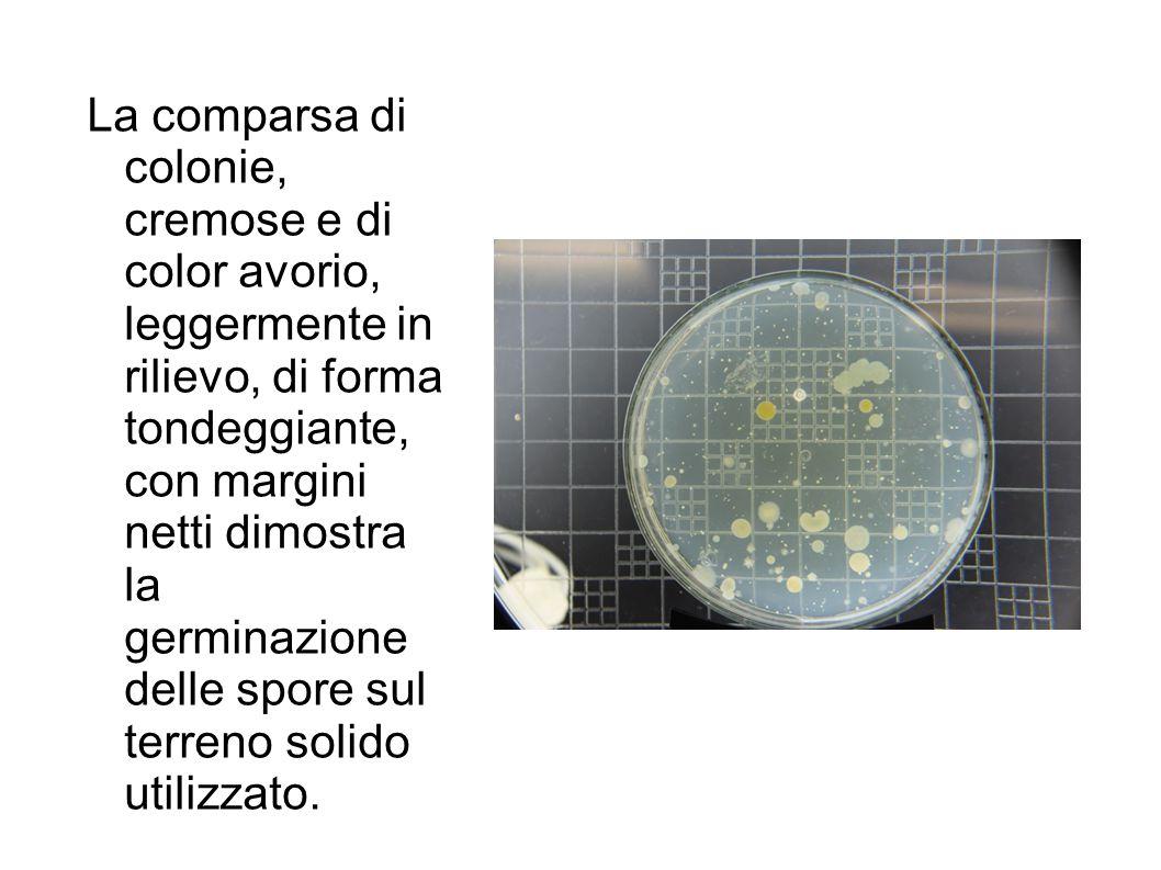 La comparsa di colonie, cremose e di color avorio, leggermente in rilievo, di forma tondeggiante, con margini netti dimostra la germinazione delle spore sul terreno solido utilizzato.