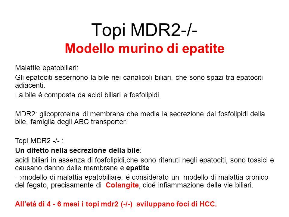 Topi MDR2-/- Modello murino di epatite Malattie epatobiliari: Gli epatociti secernono la bile nei canalicoli biliari, che sono spazi tra epatociti adi
