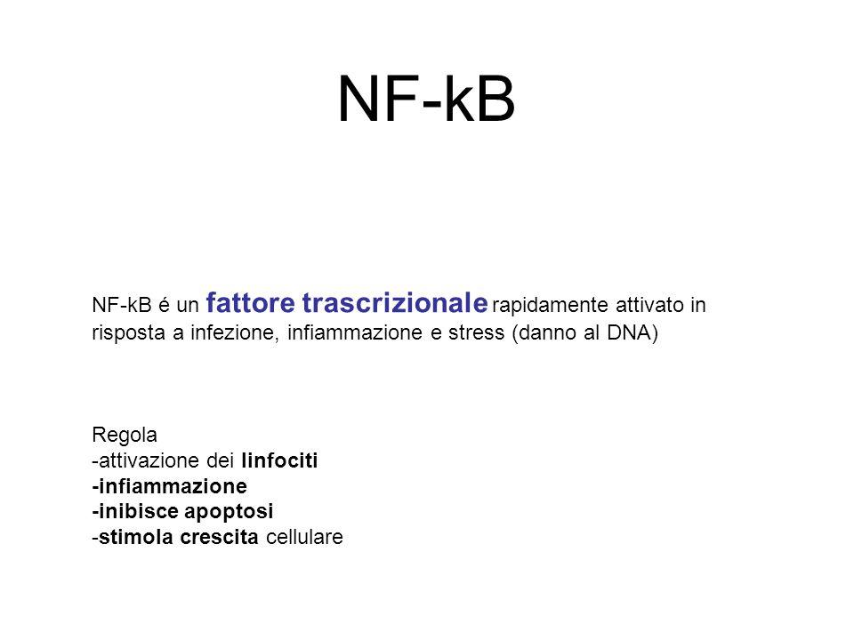 NF-kB NF-kB é un fattore trascrizionale rapidamente attivato in risposta a infezione, infiammazione e stress (danno al DNA) Regola -attivazione dei li