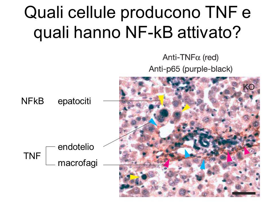 Quali cellule producono TNF e quali hanno NF-kB attivato? macrofagi endotelio epatocitiNFkB TNF