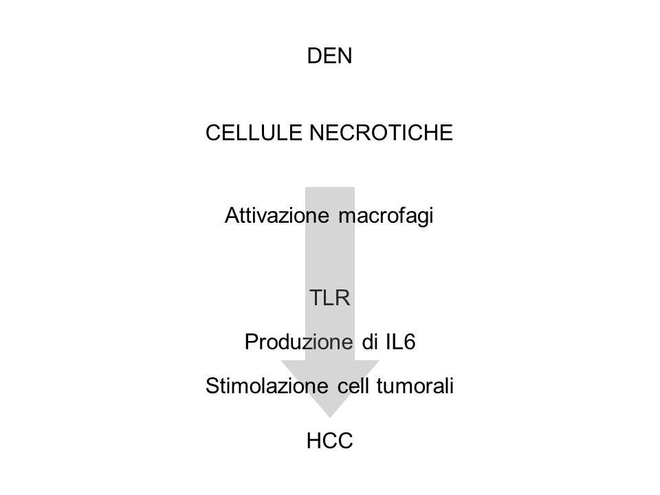 Produzione di IL6 TLR DEN HCC Attivazione macrofagi Stimolazione cell tumorali CELLULE NECROTICHE