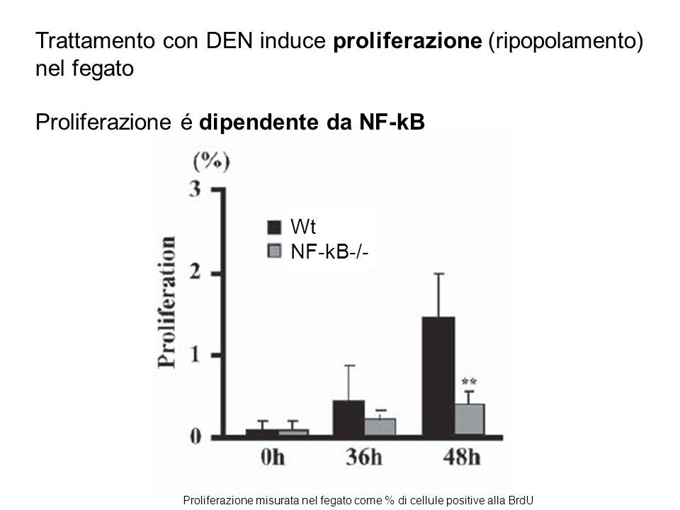 Wt NF-kB-/- Trattamento con DEN induce proliferazione (ripopolamento) nel fegato Proliferazione é dipendente da NF-kB Proliferazione misurata nel fega