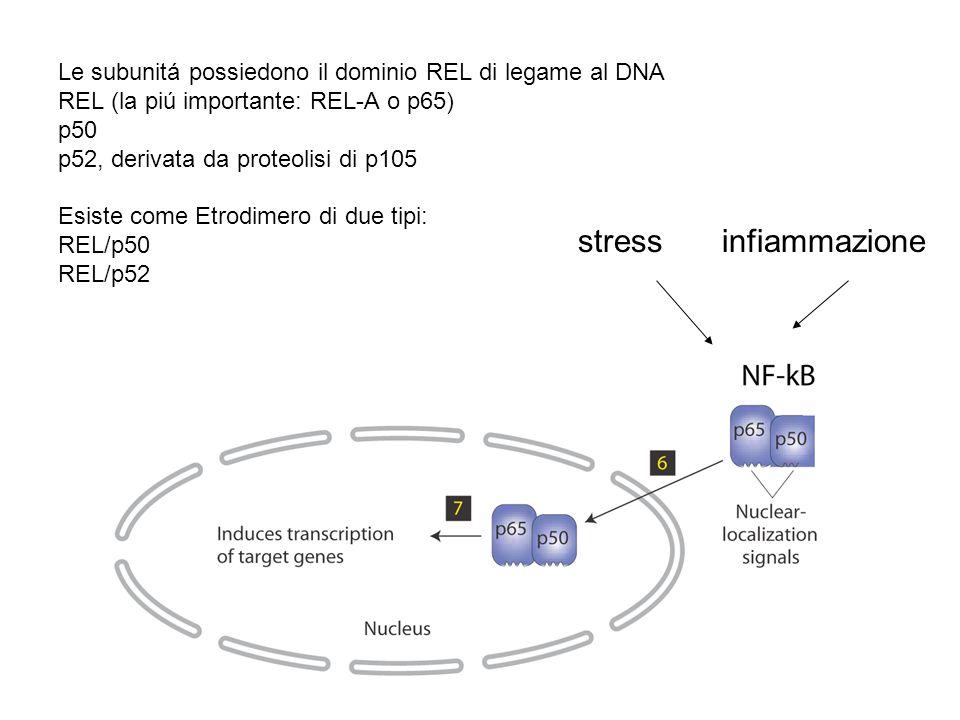 stressinfiammazione Le subunitá possiedono il dominio REL di legame al DNA REL (la piú importante: REL-A o p65) p50 p52, derivata da proteolisi di p10