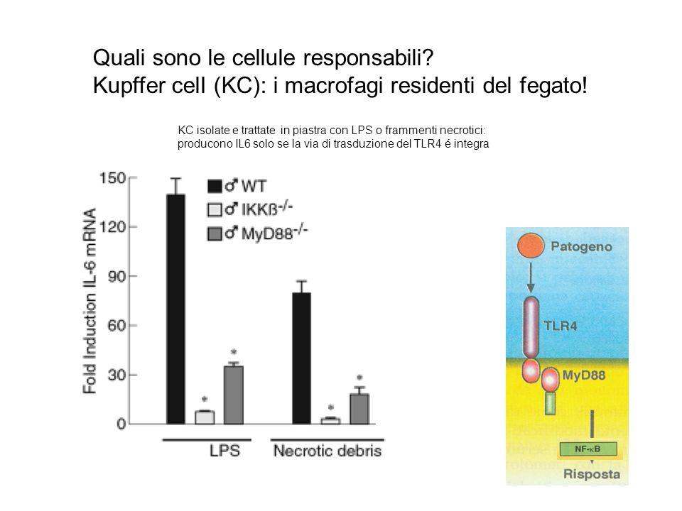 Quali sono le cellule responsabili? Kupffer celI (KC): i macrofagi residenti del fegato! KC isolate e trattate in piastra con LPS o frammenti necrotic