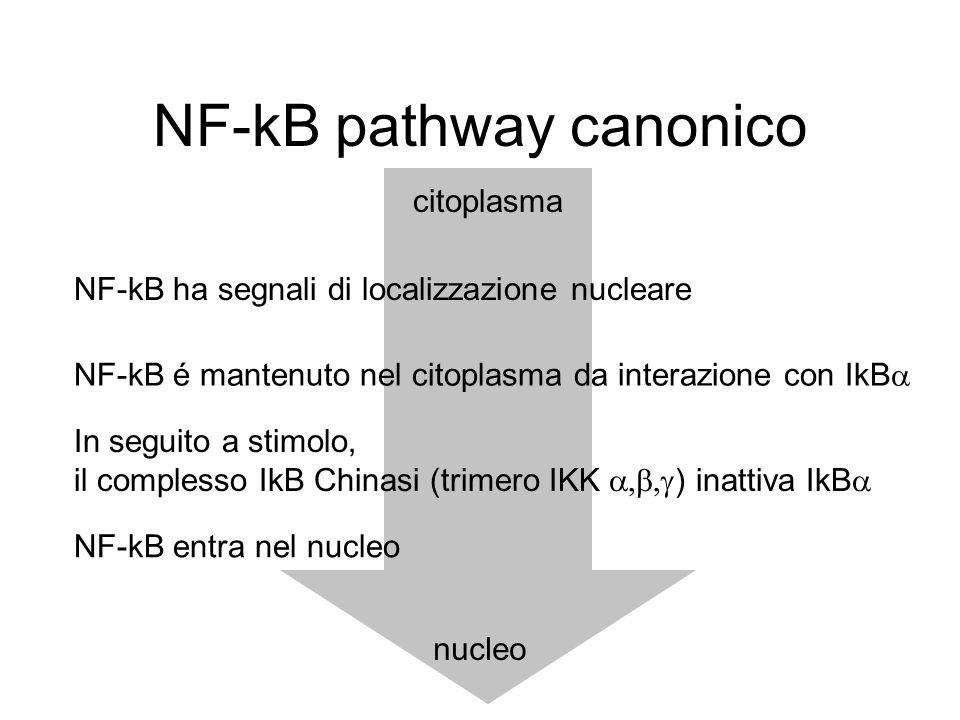 NF-kB pathway canonico NF-kB é mantenuto nel citoplasma da interazione con IkB  In seguito a stimolo, il complesso IkB Chinasi (trimero IKK  ) i