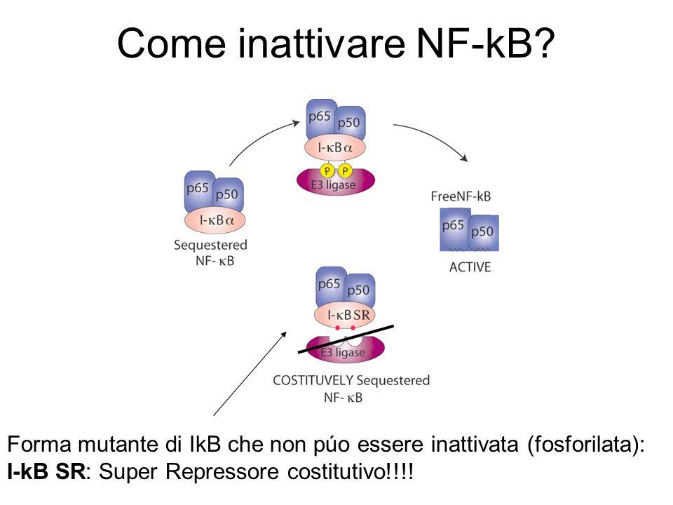 Come inattivare NF-kB? Forma mutante di IkB che non púo essere inattivata (fosforilata): I-kB SR: Super Repressore costitutivo!!!!