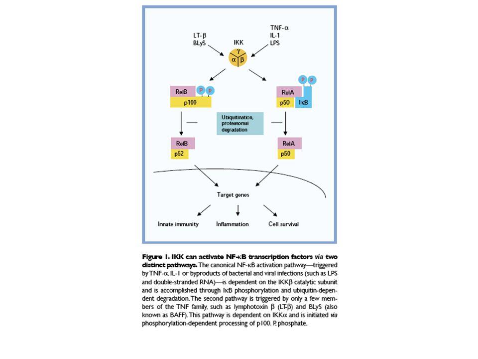 Geni target feedback loop:IkB proliferazione:MYC, Ciclina D1 anti-apoptosi:BCL2 family (bloccano BAX), cIAP (bloccano caspasi) Infiammazione: citochine (e.g., IL-1, IL-6, TNF-a, IFN b, GM-CSF) chemochine (e.g., IL-8, MIP-1, MCP1, RANTES, and eotaxin), molecole per adesione (e.g., ICAM, VCAM, and E-selectin) effettori, stress ossidativo(e.g., iNOS and COX-2).