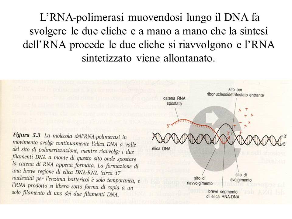 L'RNA-polimerasi muovendosi lungo il DNA fa svolgere le due eliche e a mano a mano che la sintesi dell'RNA procede le due eliche si riavvolgono e l'RN