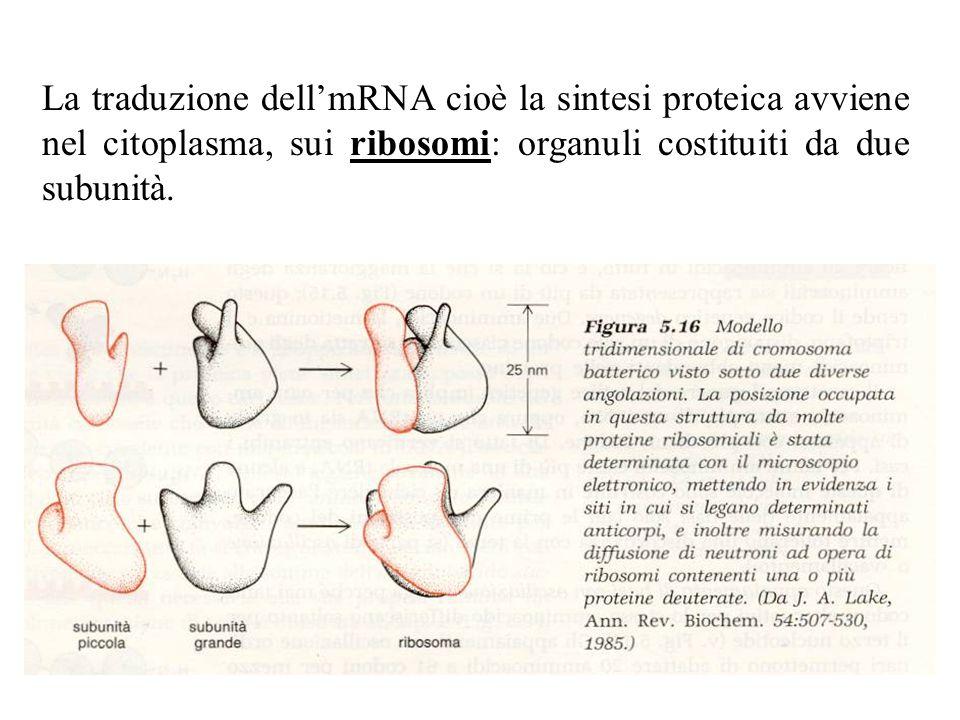 La traduzione dell'mRNA cioè la sintesi proteica avviene nel citoplasma, sui ribosomi: organuli costituiti da due subunità.