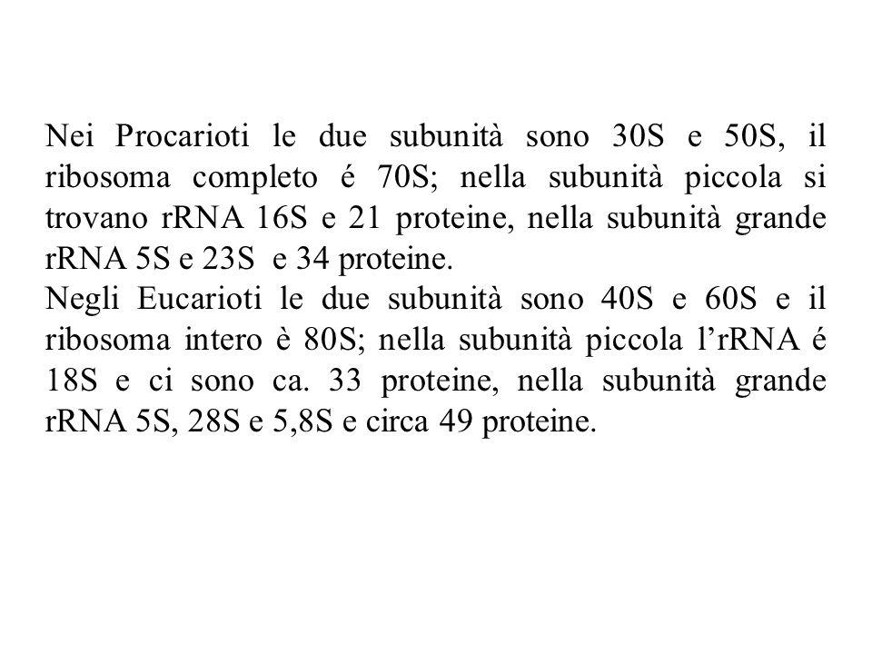 Nei Procarioti le due subunità sono 30S e 50S, il ribosoma completo é 70S; nella subunità piccola si trovano rRNA 16S e 21 proteine, nella subunità gr