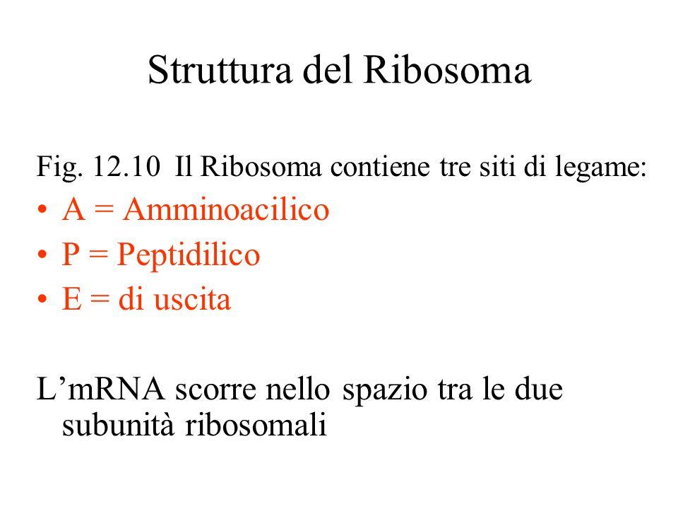 Struttura del Ribosoma Fig. 12.10 Il Ribosoma contiene tre siti di legame: A = Amminoacilico P = Peptidilico E = di uscita L'mRNA scorre nello spazio
