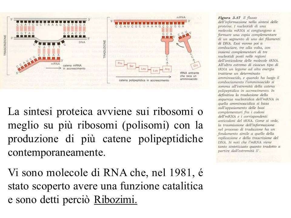 La sintesi proteica avviene sui ribosomi o meglio su più ribosomi (polisomi) con la produzione di più catene polipeptidiche contemporaneamente. Vi son