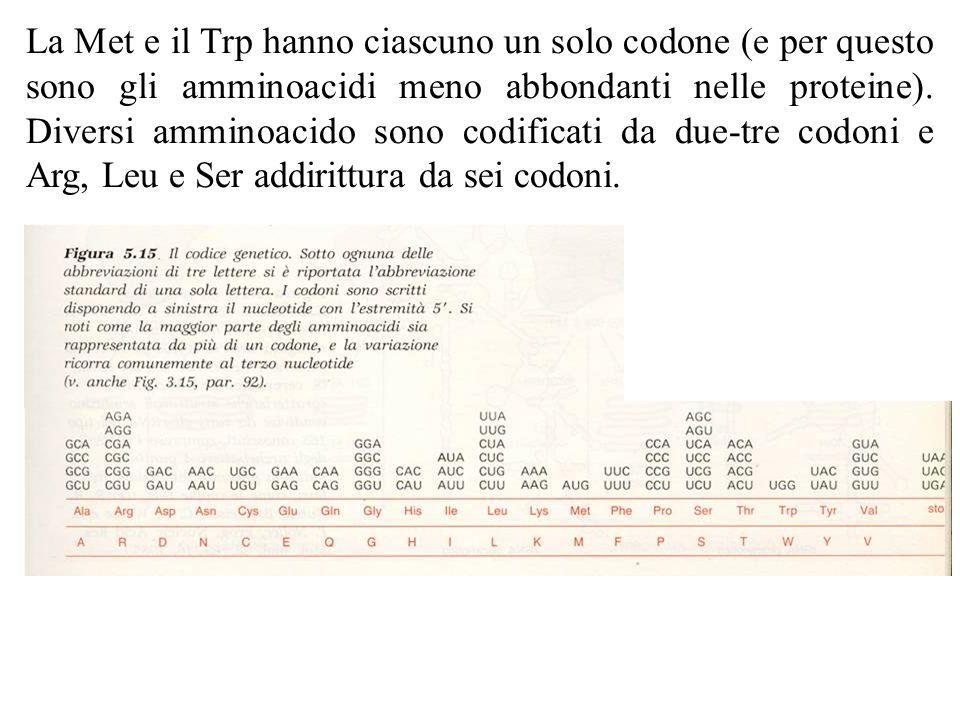 La Met e il Trp hanno ciascuno un solo codone (e per questo sono gli amminoacidi meno abbondanti nelle proteine). Diversi amminoacido sono codificati