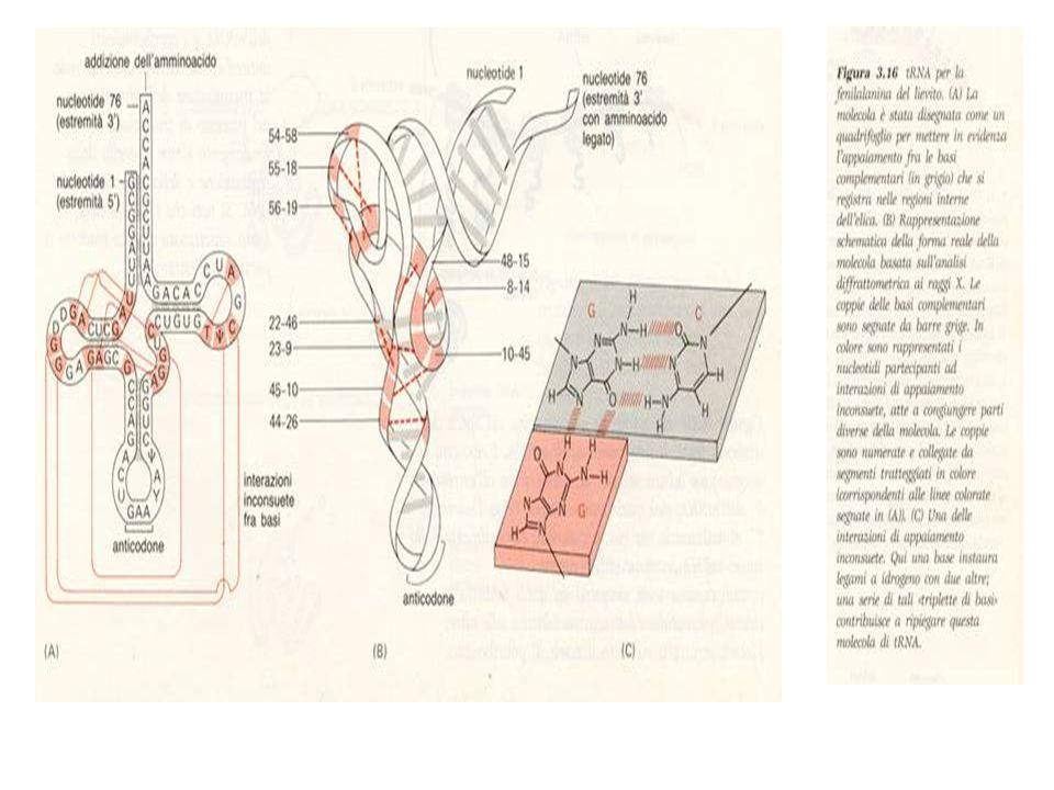 SINTESI DELL'RNA E DELLE PROTEINE La sintesi dell'RNA su stampo del DNA é nota come Trascrizione del DNA: Con questo processo si sintetizzano i vari tipi di RNA: mRNA; tRNA; rRNA e altre, che vengono tutte sintetizzate su stampo del DNA con l'intervento dell'RNA-polimerasi che si lega fortemente al sito d'inizio contenuto nella sequenza di DNA specifico detto iniziatore (promotore).