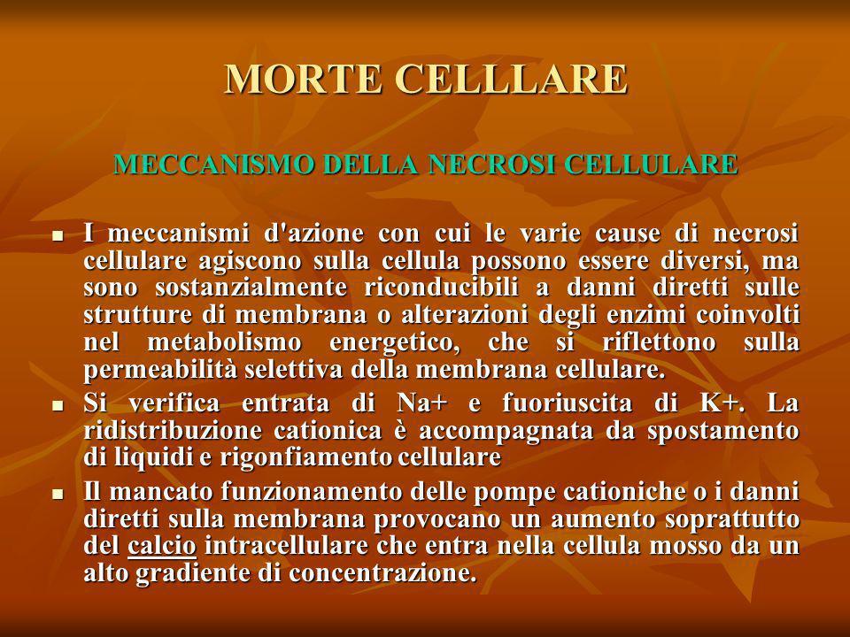 MORTE CELLLARE MECCANISMO DELLA NECROSI CELLULARE I meccanismi d'azione con cui le varie cause di necrosi cellulare agiscono sulla cellula possono ess