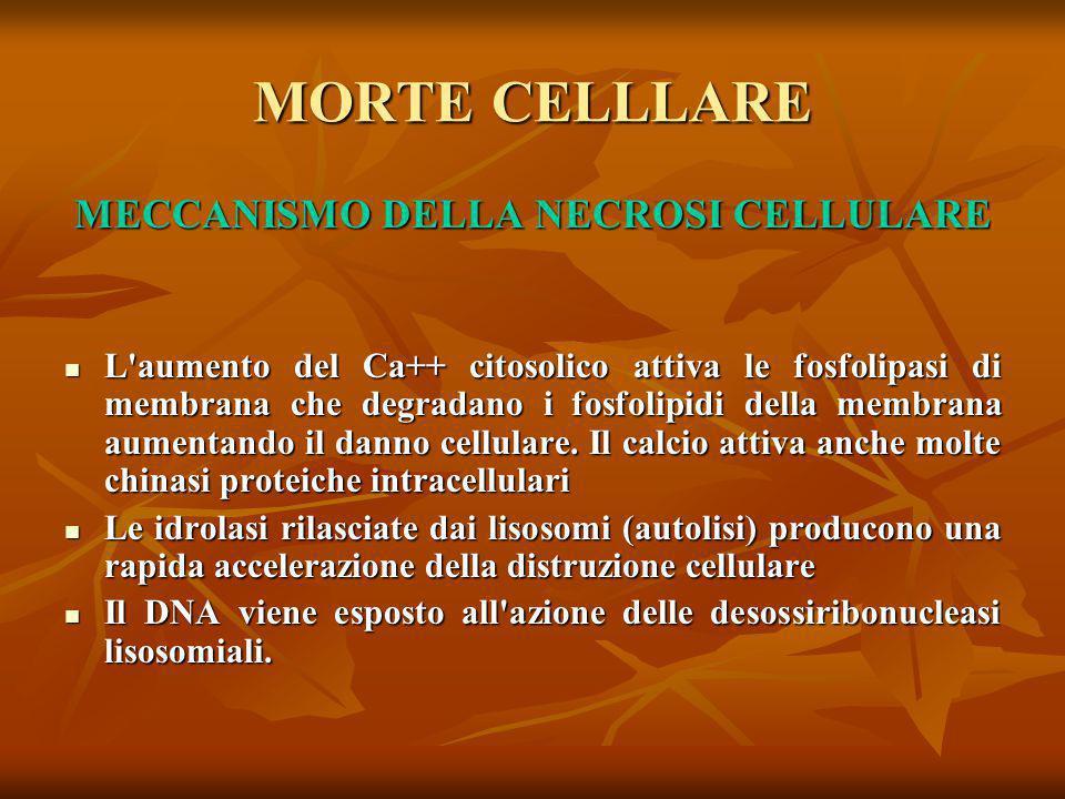 MORTE CELLLARE MECCANISMO DELLA NECROSI CELLULARE L'aumento del Ca++ citosolico attiva le fosfolipasi di membrana che degradano i fosfolipidi della me