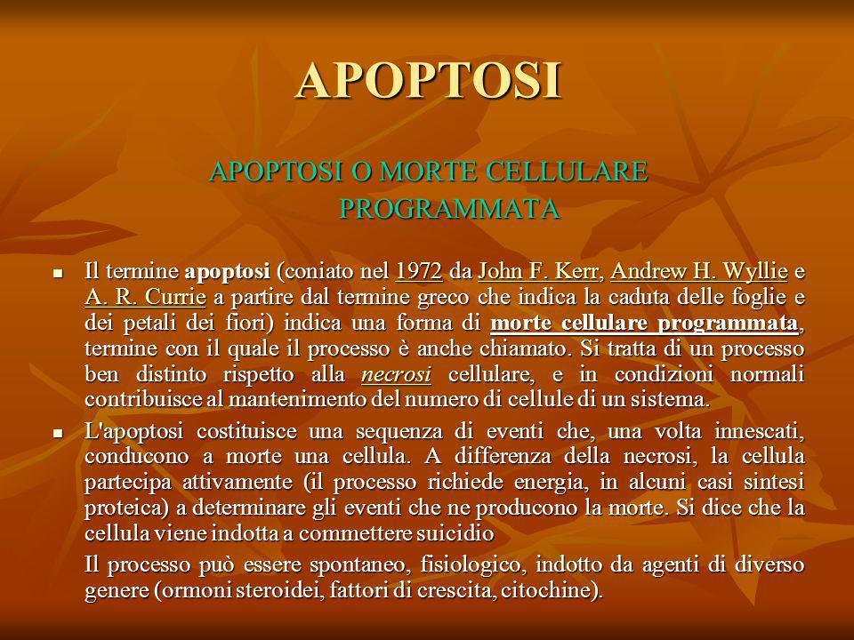 APOPTOSI APOPTOSI O MORTE CELLULARE PROGRAMMATA Il termine apoptosi (coniato nel 1972 da John F. Kerr, Andrew H. Wyllie e A. R. Currie a partire dal t