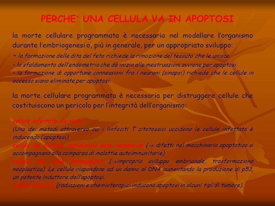 PERCHE ' UNA CELLULA VA IN APOPTOSI la morte cellulare programmata è necessaria nel modellare l'organismo durante l'embriogenesi o, più in generale, p