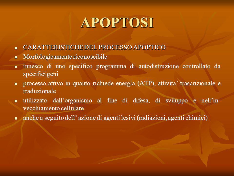 APOPTOSI CARATTERISTICHE DEL PROCESSO APOPTICO CARATTERISTICHE DEL PROCESSO APOPTICO Morfologicamente riconoscibile Morfologicamente riconoscibile inn