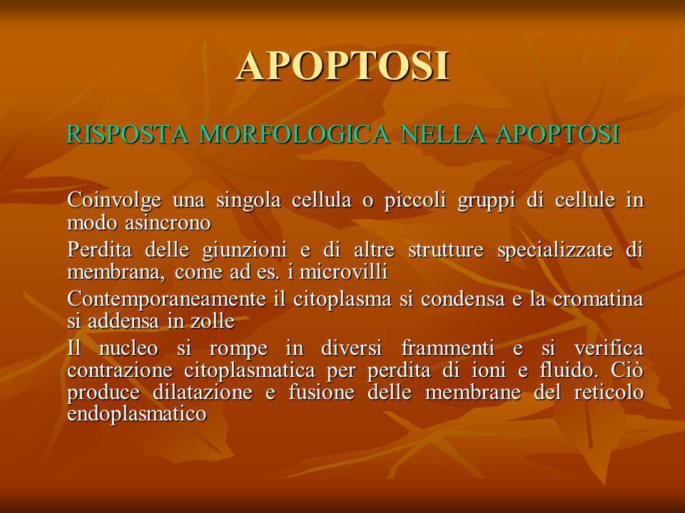 APOPTOSI RISPOSTA MORFOLOGICA NELLA APOPTOSI Coinvolge una singola cellula o piccoli gruppi di cellule in modo asincrono Perdita delle giunzioni e di