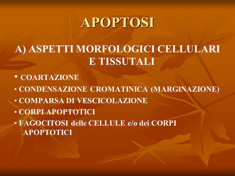 APOPTOSI A) ASPETTI MORFOLOGICI CELLULARI E TISSUTALI COARTAZIONE CONDENSAZIONE CROMATINICA (MARGINAZIONE) COMPARSA DI VESCICOLAZIONE CORPI APOPTOTICI