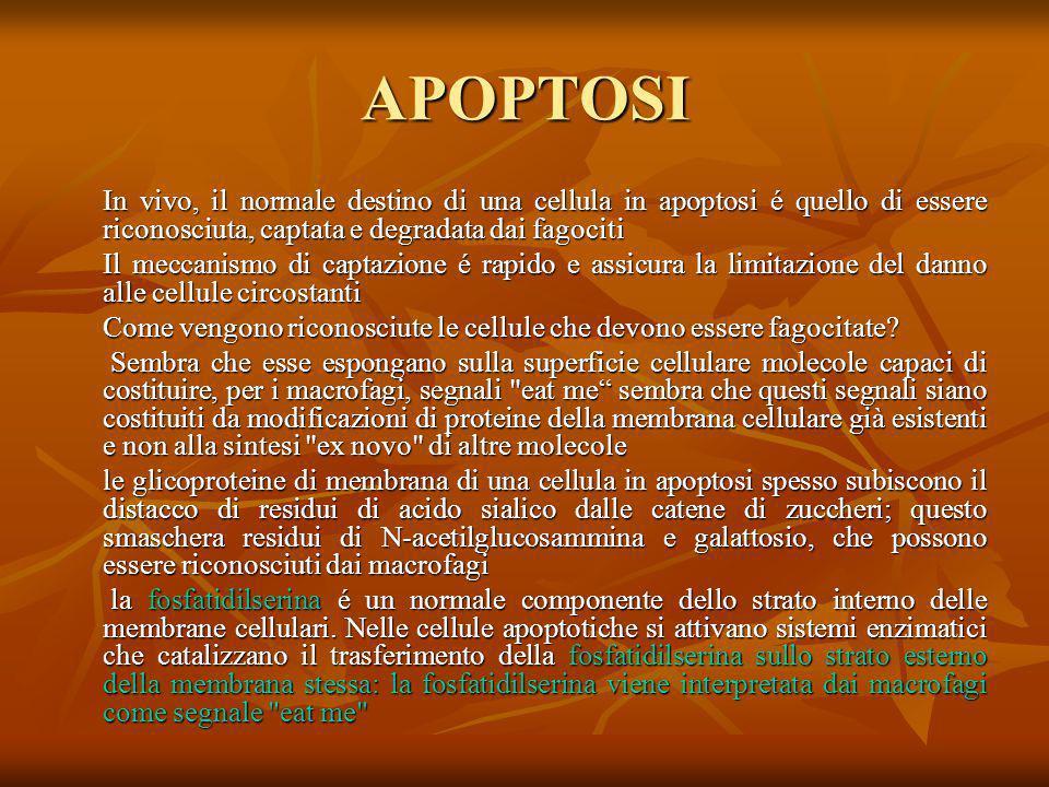 APOPTOSI In vivo, il normale destino di una cellula in apoptosi é quello di essere riconosciuta, captata e degradata dai fagociti Il meccanismo di cap