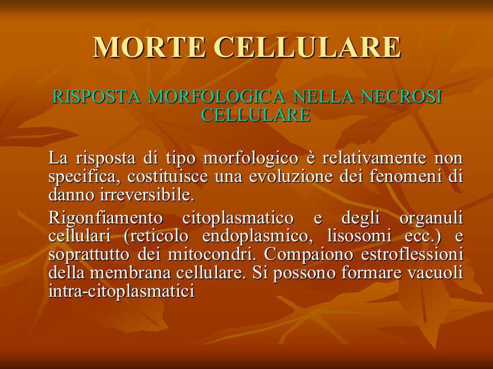 RISPOSTA MORFOLOGICA NELLA NECROSI CELLULARE La risposta di tipo morfologico è relativamente non specifica, costituisce una evoluzione dei fenomeni di