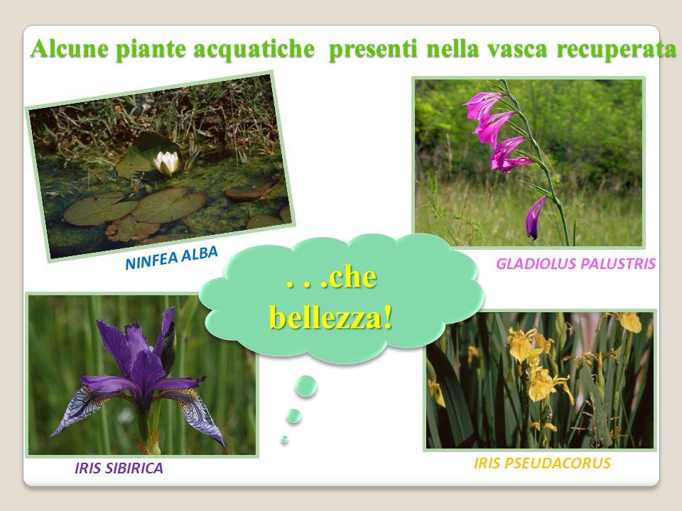Alcune piante acquatiche presenti nella vasca recuperata NINFEA ALBA GLADIOLUS PALUSTRIS IRIS PSEUDACORUS IRIS SIBIRICA...che bellezza!
