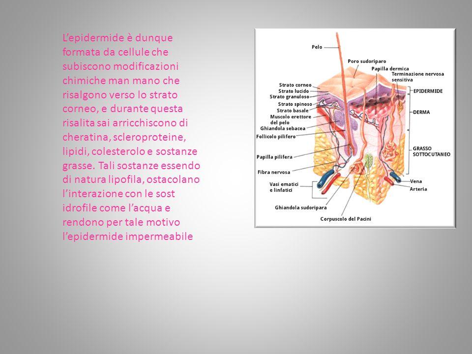 L'epidermide è dunque formata da cellule che subiscono modificazioni chimiche man mano che risalgono verso lo strato corneo, e durante questa risalita