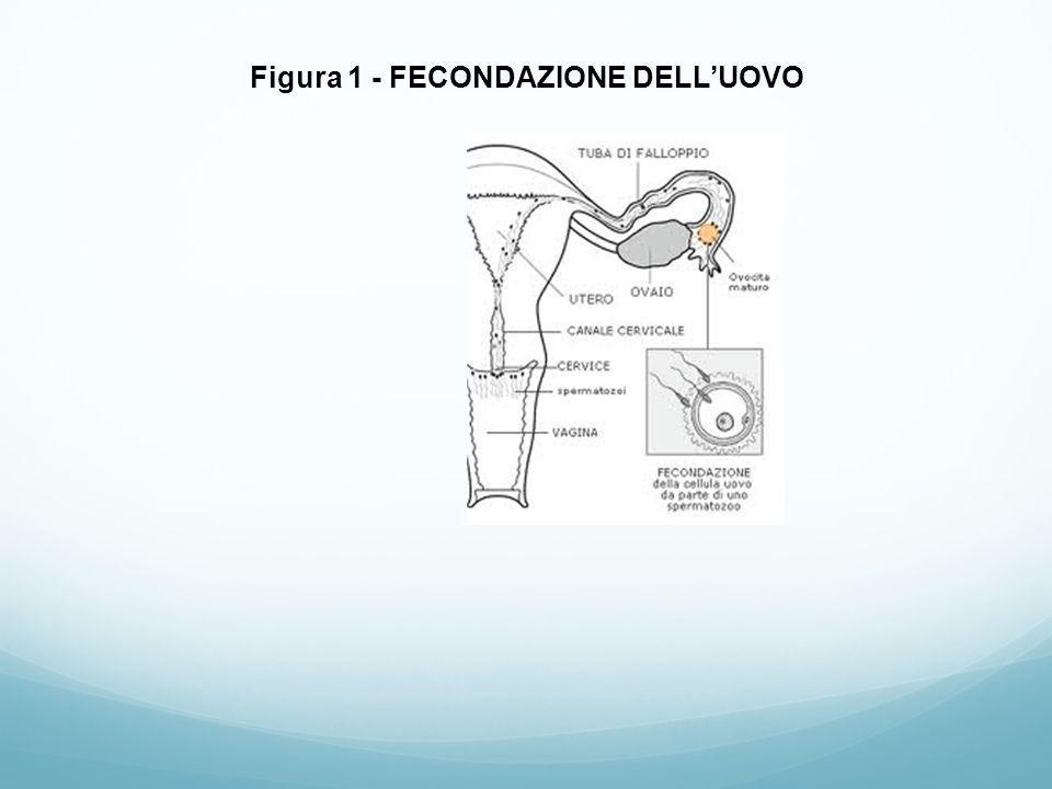 Figura 2 – ANNIDAMENTO DELL'EMBRIONE NELL'UTERO