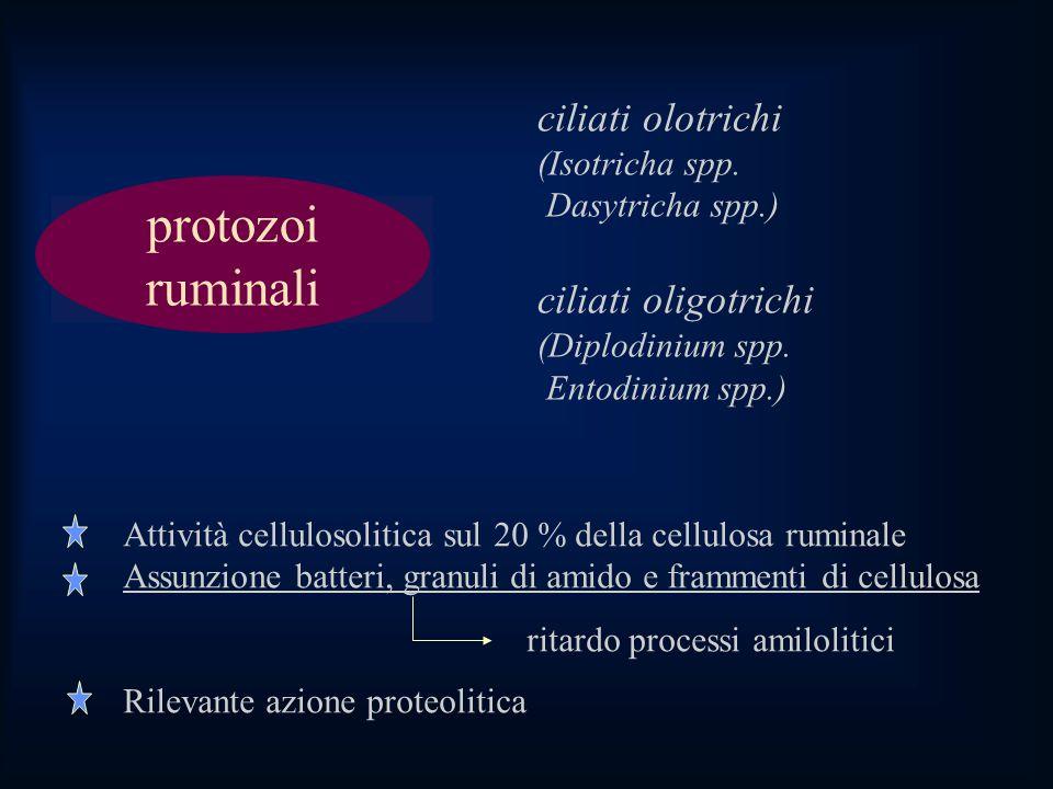 protozoi ruminali ciliati olotrichi (Isotricha spp.