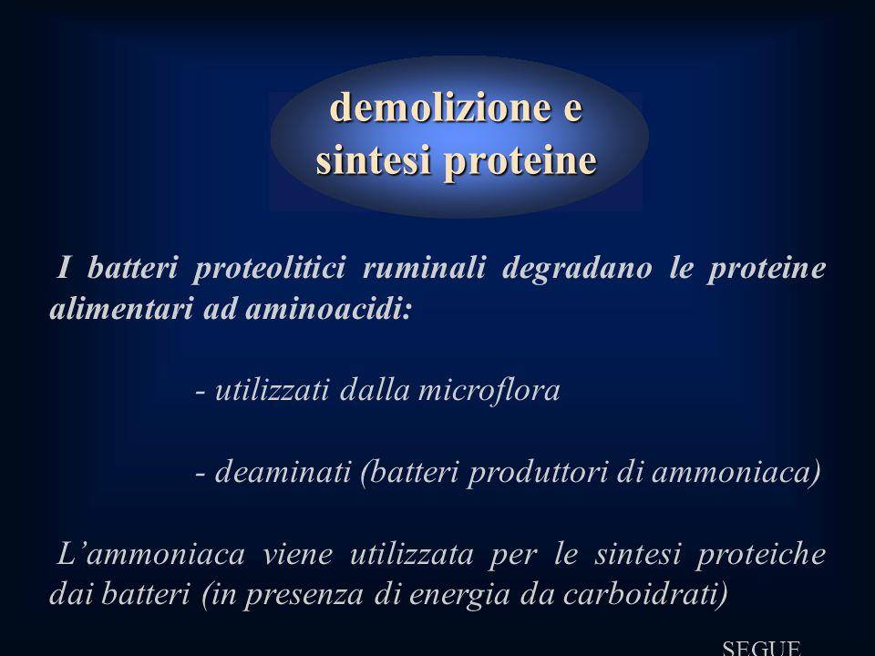 demolizione e sintesi proteine I batteri proteolitici ruminali degradano le proteine alimentari ad aminoacidi: - utilizzati dalla microflora - deaminati (batteri produttori di ammoniaca) L'ammoniaca viene utilizzata per le sintesi proteiche dai batteri (in presenza di energia da carboidrati) SEGUE...