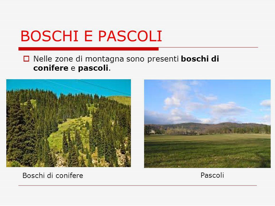 BOSCHI E PASCOLI  Nelle zone di montagna sono presenti boschi di conifere e pascoli. Boschi di conifere Pascoli