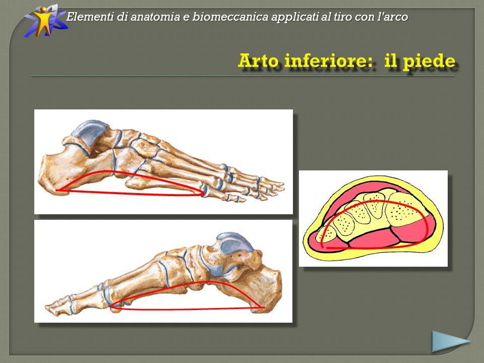 Elementi di anatomia e biomeccanica applicati al tiro con l arco Jutta Hochschild, Apparato locomotore – anatomia e funzioni, edi-ermes, Milano 2005