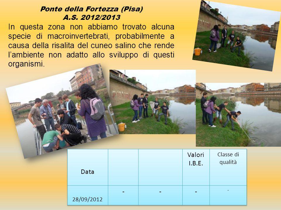 Ponte della Fortezza (Pisa) A.S. 2012/2013 In questa zona non abbiamo trovato alcuna specie di macroinvertebrati, probabilmente a causa della risalita