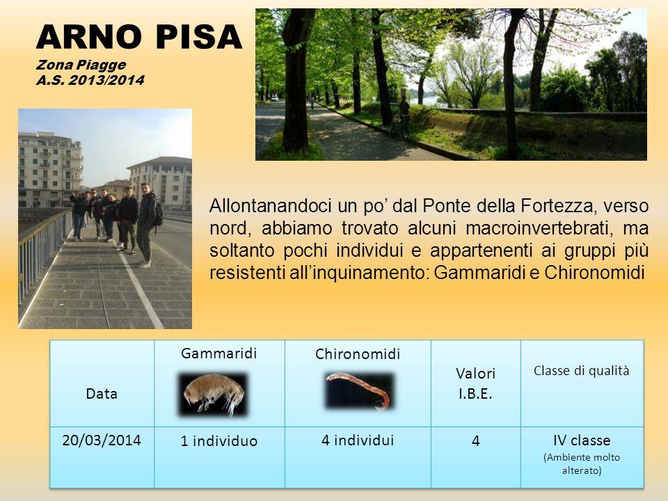ARNO PISA Zona Piagge A.S. 2013/2014 Allontanandoci un po' dal Ponte della Fortezza, verso nord, abbiamo trovato alcuni macroinvertebrati, ma soltanto