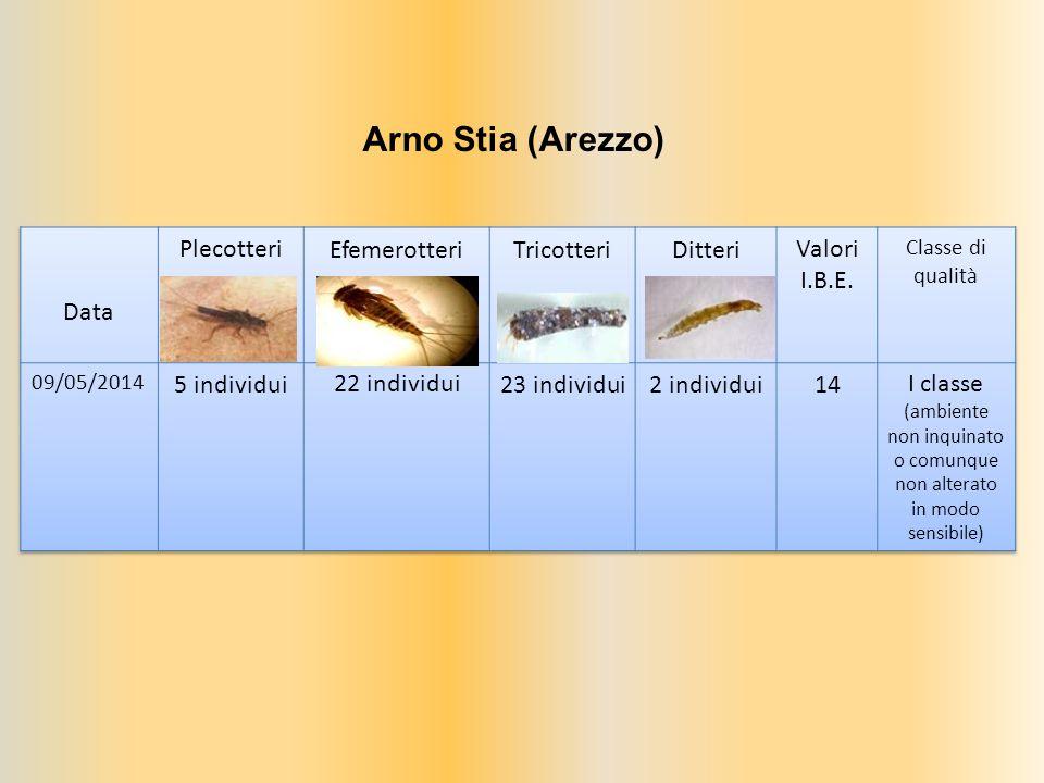Arno Stia (Arezzo)
