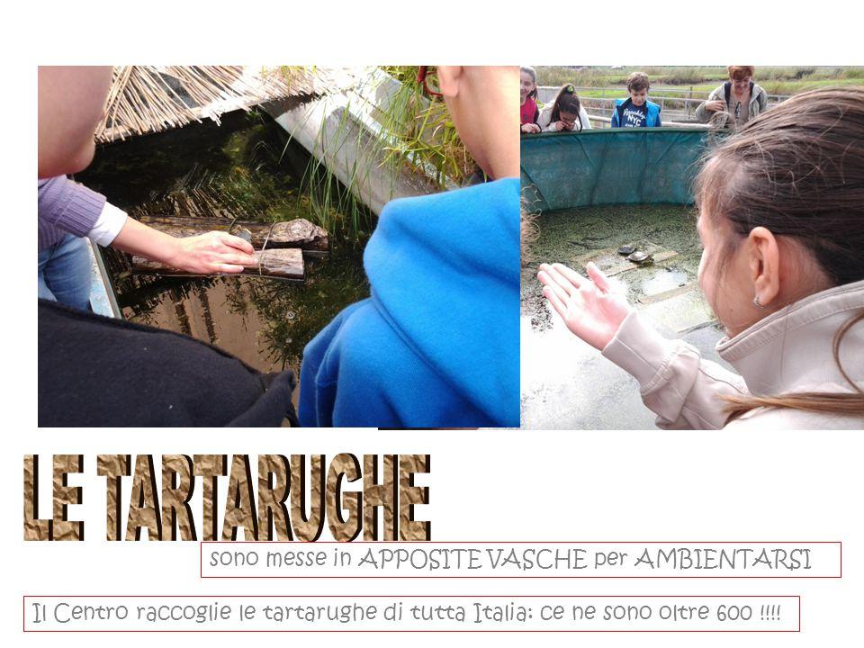 sono messe in APPOSITE VASCHE per AMBIENTARSI Il Centro raccoglie le tartarughe di tutta Italia: ce ne sono oltre 600 !!!!