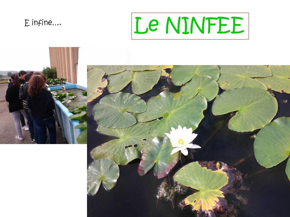 Le NINFEE E infine….