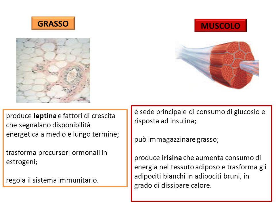 GRASSO produce leptina e fattori di crescita che segnalano disponibilità energetica a medio e lungo termine; trasforma precursori ormonali in estrogeni; regola il sistema immunitario.