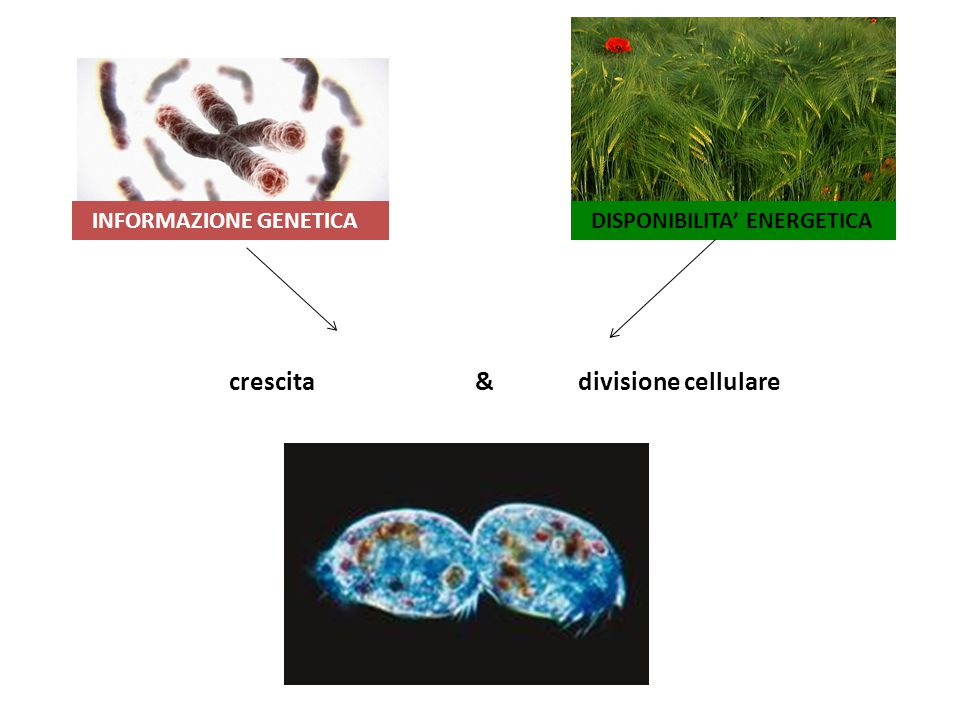 INFORMAZIONE GENETICA DISPONIBILITA' ENERGETICA crescita & divisione cellulare