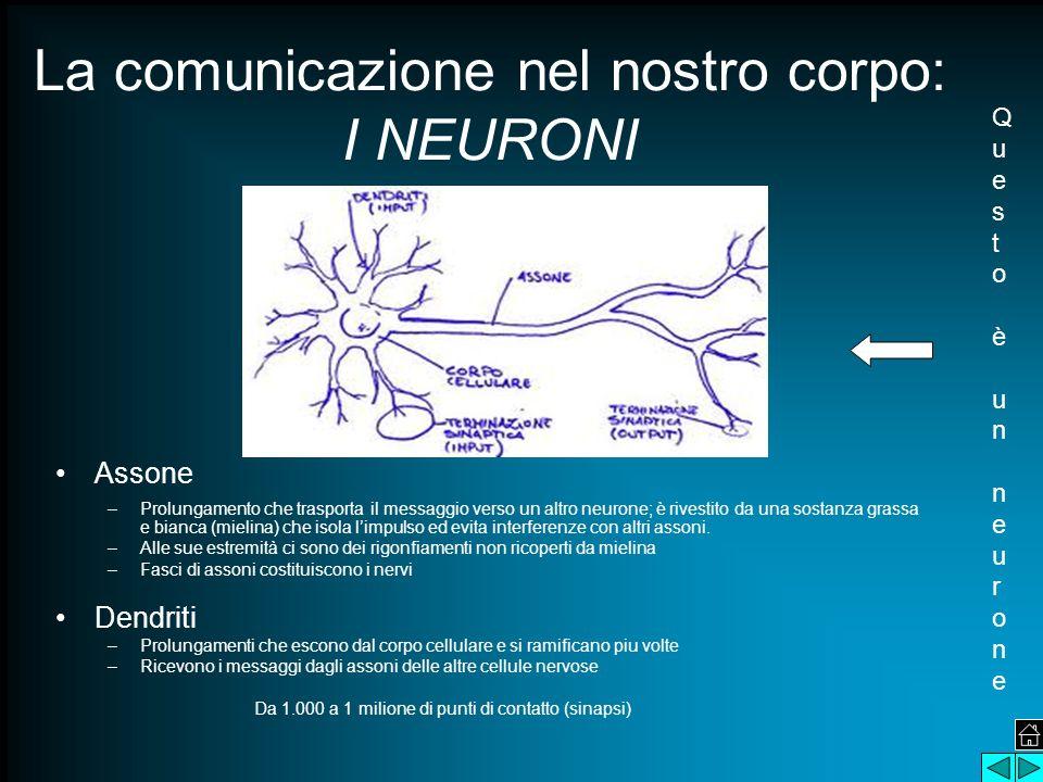 La comunicazione nel nostro corpo: I NEURONI Assone –Prolungamento che trasporta il messaggio verso un altro neurone; è rivestito da una sostanza gras