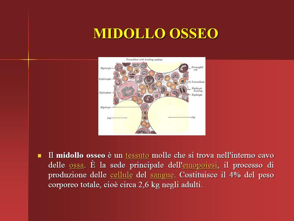 MIDOLLO OSSEO Il midollo osseo è un tessuto molle che si trova nell'interno cavo delle ossa. È la sede principale dell'emopoiesi, il processo di produ