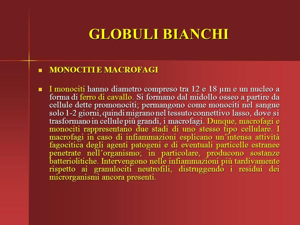 GLOBULI BIANCHI MONOCITI E MACROFAGI MONOCITI E MACROFAGI I monociti hanno diametro compreso tra 12 e 18 µm e un nucleo a forma di ferro di cavallo. S