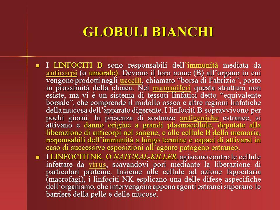 GLOBULI BIANCHI I LINFOCITI B sono responsabili dell'immunità mediata da anticorpi (o umorale). Devono il loro nome (B) all'organo in cui vengono prod