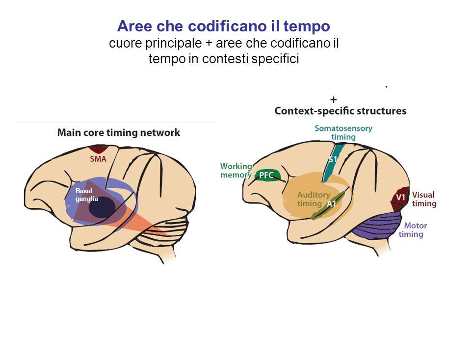 Aree che codificano il tempo cuore principale + aree che codificano il tempo in contesti specifici Basal ganglia