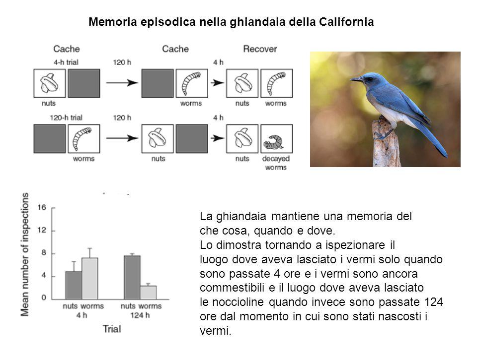 Memoria episodica nella ghiandaia della California La ghiandaia mantiene una memoria del che cosa, quando e dove. Lo dimostra tornando a ispezionare i
